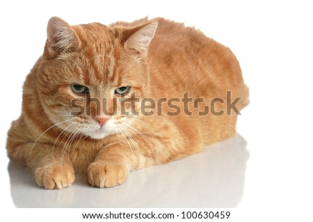 A Fat Orange Tabby Cat Poses Lying Down on White with a Reflection - stock photo