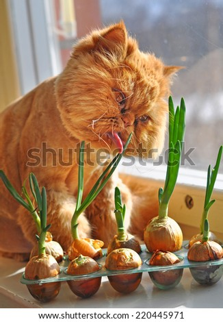 A fat red cat is Licking his tongue and eating green onions next to the window.  - stock photo