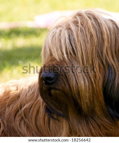 A fauve briard watching of its shoulder