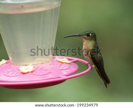 A Fawn-breasted Brilliant (Heliodoxa rubinides) perching on a hummingbird feeder in Mindo,in the Andes Mountains of Ecuador.This bird is also known as Lilac-throated Brilliant. - stock photo