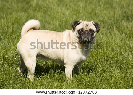 A fawn colored pug dog stands in the green grass