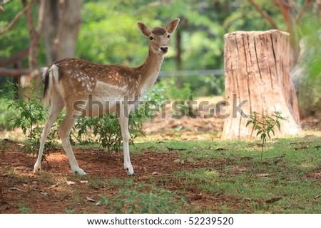 A fawn whitetail-deer at Korat Zoo, Thailand - stock photo