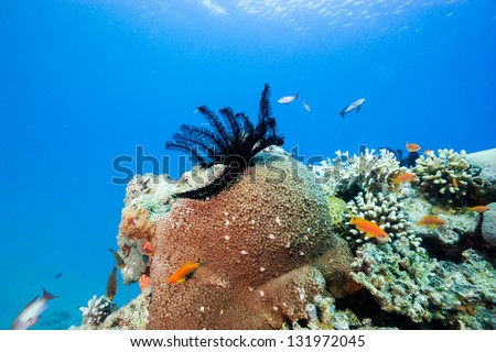 A feather star on a hard coral