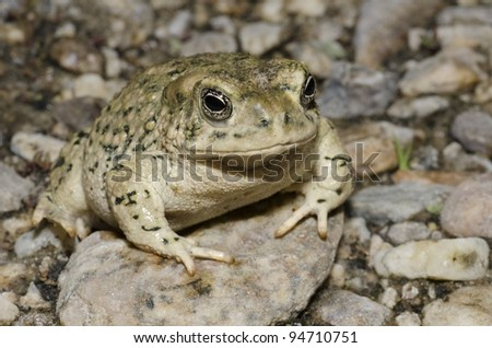 A federally endangered Arroyo Toad (Anaxyrus californicus) in a Southern California. - stock photo