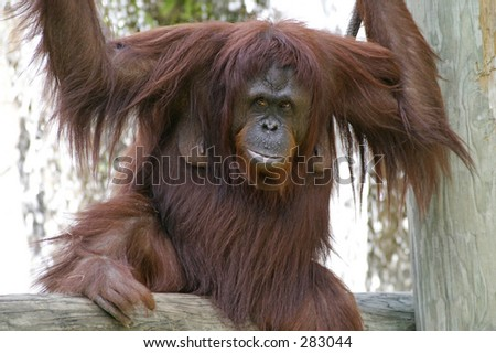 A femal orangutan posed in front of a flowing waterfall.