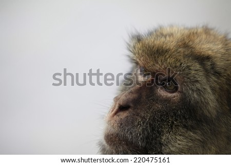 A female adult monkey face close up with copy space