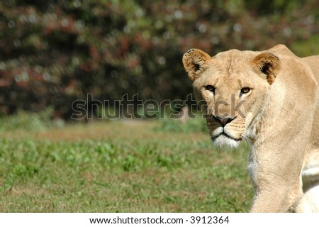 A female African lioness stares intently as she crosses an open field. - stock photo
