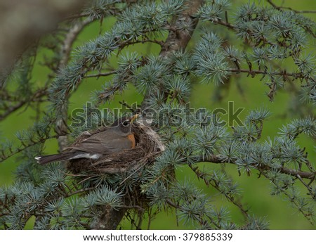 A female American Robin sits in her nest over newly laid eggs - stock photo