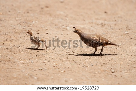 A female and juvenile California quail crossing a path. - stock photo