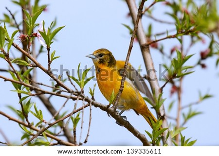 A female baltimore oriole flaps her wings after landing on flowering branch. The sky blues and leaf greens contrast well against her orange breast. - stock photo