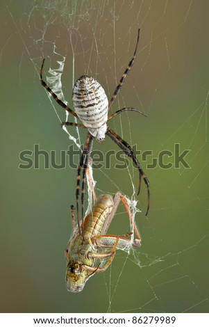 A female banded argiope spider is moving towards a grasshopper that is caught in her web. - stock photo