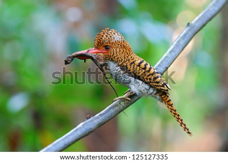A Female Banded Kingfisher has Flying dragon in her bill.(Lacedo pulchella)