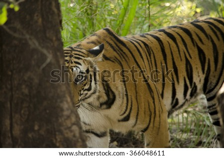 A Female Bengal Tiger looking at the camera from behind a tree Scientific name- Panthera Tigris  - stock photo