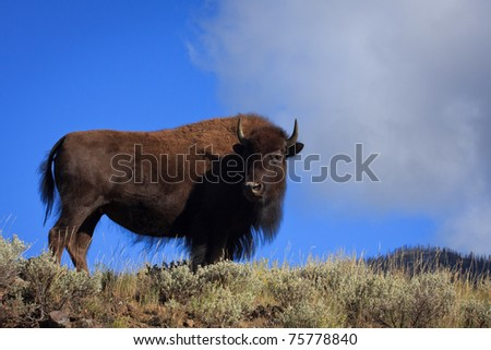 A female bison standing on the edge of a hillside in Yellowstone National Park. - stock photo