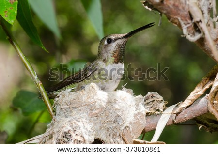 A female black-chinned hummingbird sitting on her nest in Southern California. - stock photo