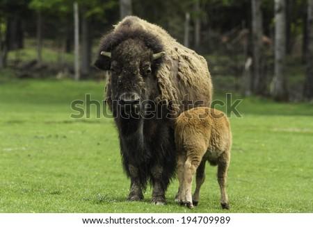A female buffalo feeds its offspring - stock photo