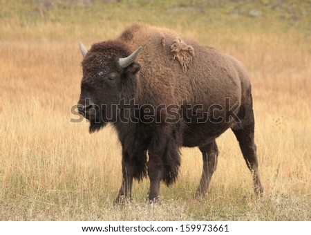 A female buffalo standing in yellow autumn grassland