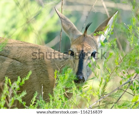 A female Bush Duiker peering from behind soft green bushes