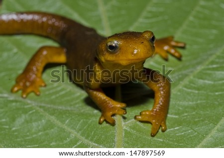 A female California newt (Taricha torosa), found in southern California.  - stock photo