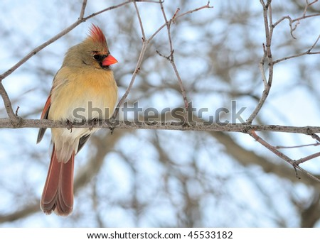 A female cardinal perched on a tree branch.