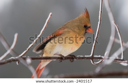 A female cardinal shivering on a snow covered tree branch. - stock photo
