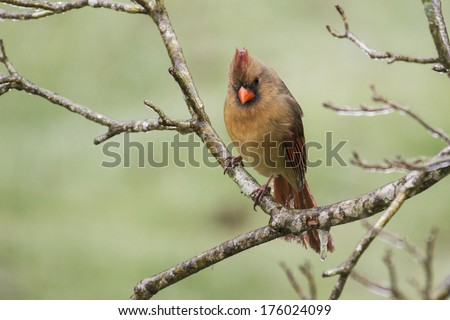 A female Cardinal sits on frozen limbs. - stock photo