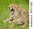 A female cheetah bares her teeth in Masai Mara - stock photo