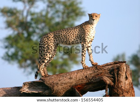 A female cheetah on a tree stump - stock photo
