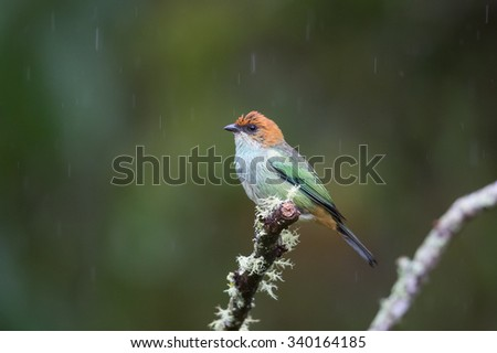 A female Chestnut backed Tanager (Tangara preciosa) perched on a lichen covered branch, in the rain, against a blurred natural background, Atlantic rainforest, South-eastern Brazil