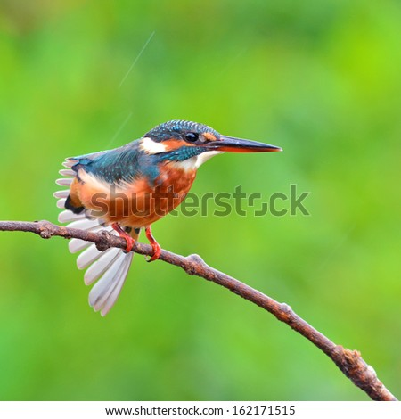 A female Common Kingfisher is perching on a branch.(Alcedo atthis)