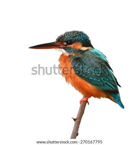 A female Common Kingfisher is perching on a branch.(Alcedo atthis), white background - stock photo