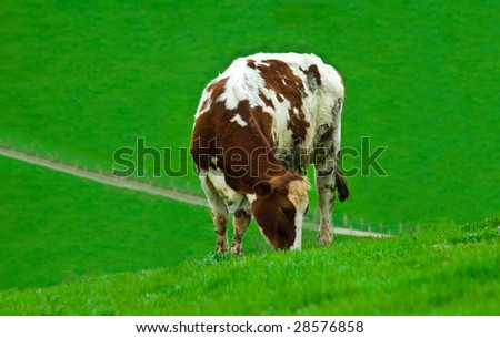 a female cow grazing alone in a field of lush green fresh grass - stock photo