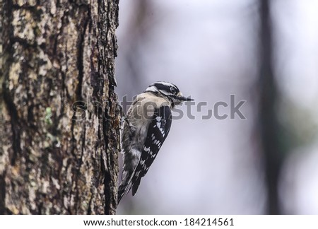 A female downy woodpecker looks around while searching for food on the side of a tree