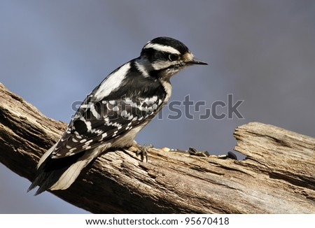 A female Downy Woodpecker perch  on a tree limb. - stock photo