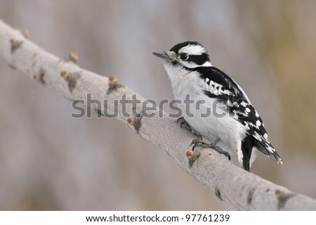 A female downy woodpecker perched on a branch. - stock photo