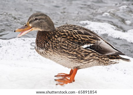 a female duck on a frozen pond - stock photo