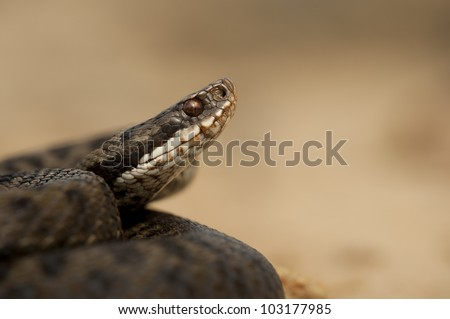 A female European Adder (Vipera berus) set against a smooth light brown background in a slightly defensive posture. - stock photo