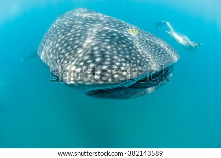 A female free diver swimming along side a beautiful whale shark - stock photo