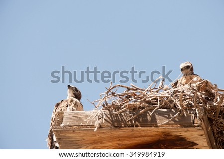 A female golden eagle perched in a nest on a power pole with three chicks in the nest. - stock photo