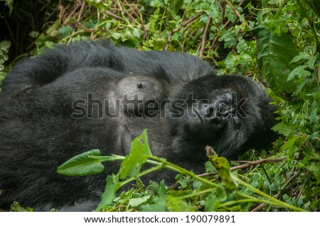 A female gorilla sleeping between the green vegetation of the forest.