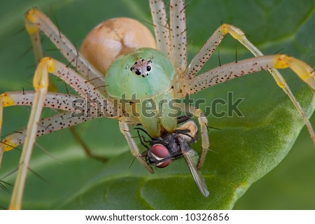 A female green lynx spider has her fangs in a fly. - stock photo