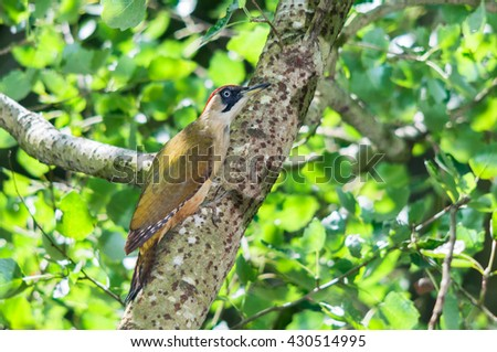 A female green woodpecker (Picus viridis) sitting on a poplar branch