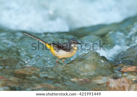 A female grey wagtail looking for food in a creek - stock photo