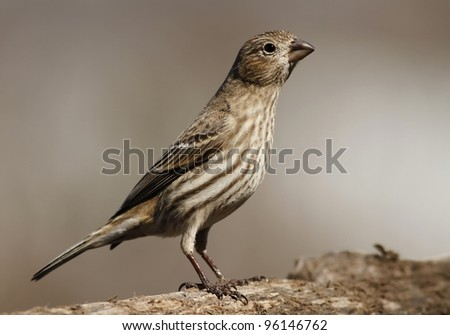 A female House Finch posing on a tree limb near my bird feeder in Missouri. - stock photo