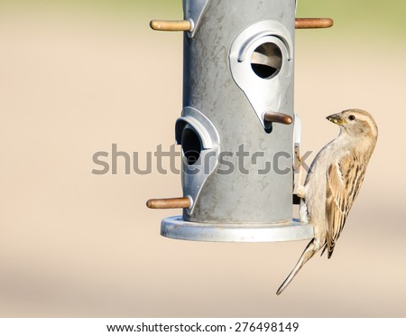 A female house sparrow in breeding plumage perched  on a hanging metal feeder - stock photo