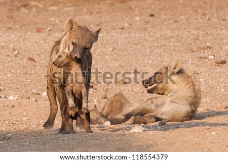 A female hyena moves her cub to safety