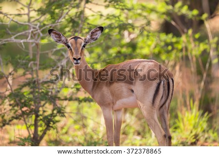 A female Impala looking over her shoulder - stock photo