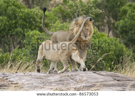 A female in the pride greets the male lion upon his return. - stock photo