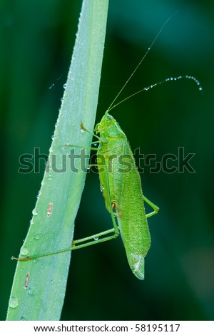 A female kadydid resting on a leaf in a field - stock photo