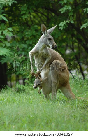 A female kangaroo is looking over her should while her Joey looks around from the safety of her pouch. - stock photo